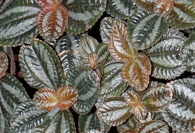 Image result for Pilea spruceana