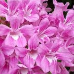 Cipó Rosa  –  Cuspidaria convoluta