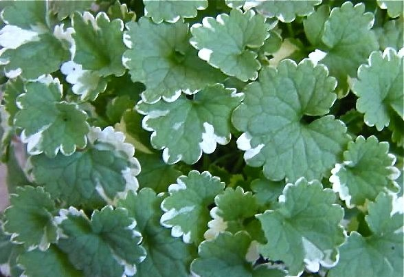 Hera de canteiro - Glechoma hederacea