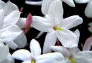 Jasmim dos poetas  –  Jasminum polyanthum