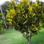 Croton  –  Codiaeum variegatum