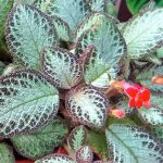 Planta Tapete – Episcia cupreata