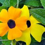 Suzana de olhos negros  –  Thunbergia alata