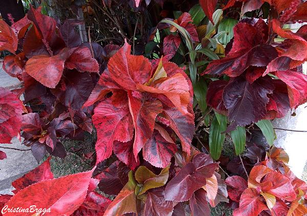 Acalifa Vermelha - Acalypha wilkesiana Copperhead