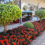 Ficus – Ficus benjamina
