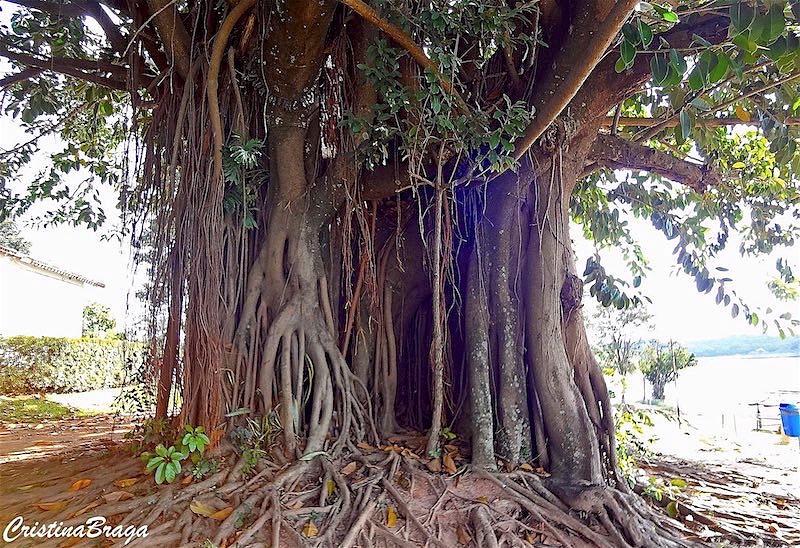 Ficus - Ficus benjamina - Flores e Folhagens