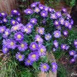 Aster Kickin Lavender