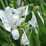 Lírio do brejo – Hedychium coronarium