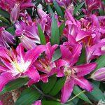 Lírio oriental – Lillium speciosum