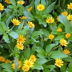 Botão de ouro – Melampodium divaricatum