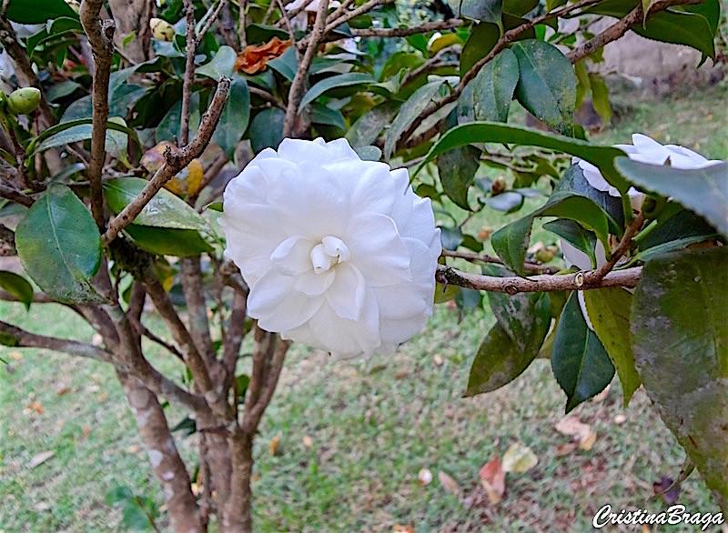 Cam lia camellia japonica 39 alba plena 39 flores e folhagens for Cuidados camelia japonica