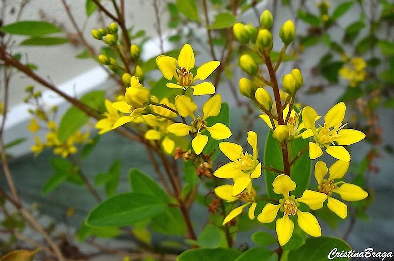 Triális - Galphimia brasiliensis - Flores e Folhagens