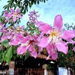 Paineira Rosa – Ceiba speciosa