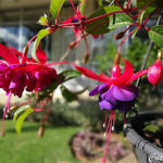 Brinco de Princesa – Fuchsia hybrida