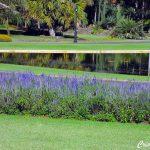 Sálvia Azul – Salvia farinacea