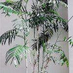 Chamaedorea bambu – Chamaedorea seifrizii