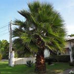 Palmeira de Saia – Washingtonia filifera