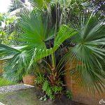 Palmeira Leque da China – Livistona chinensis