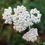 Mil-folhas – Achillea millefolium