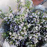 Diosma – Diosma ericoides