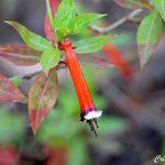 Flor de Santo Antônio – Cuphea ignea