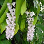 Orquídea Aerides odoratum