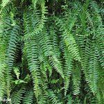 Samambaia Americana  –  Nephrolepis exaltata