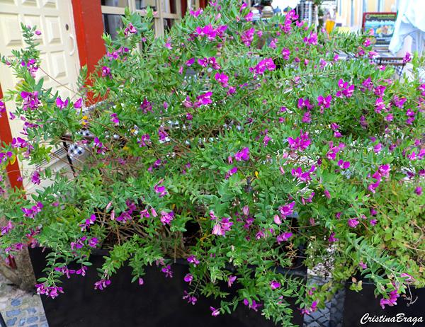Ervilha-doce - Polygala myrtifolia