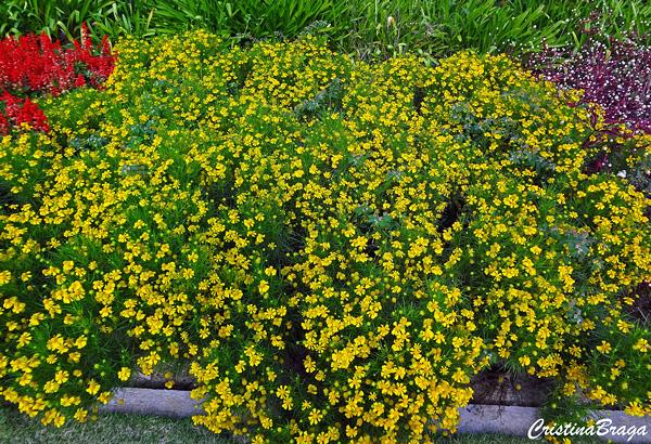 Falsa camomila - Coreopsis grandiflora