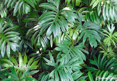 Filodendro – Philodendron radiatum