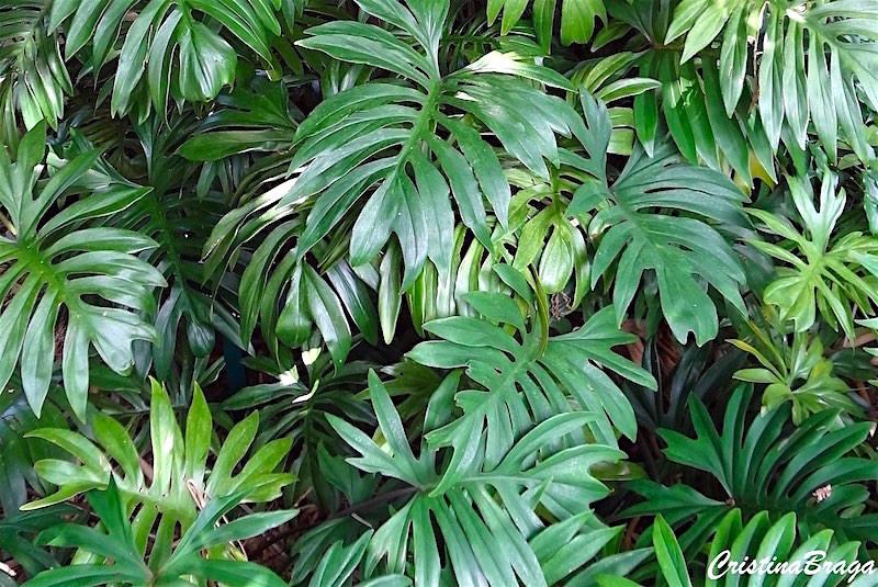 Filodendro - Philodendron radiatum