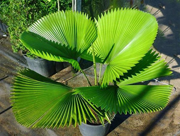 Resultado de imagem para Palmeira-leque