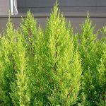 Tuia Holandesa – Cupressus macrocarpa