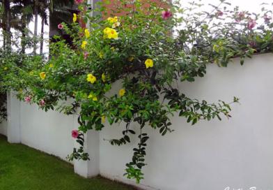 Alamanda roxa – Allamanda blanchetti