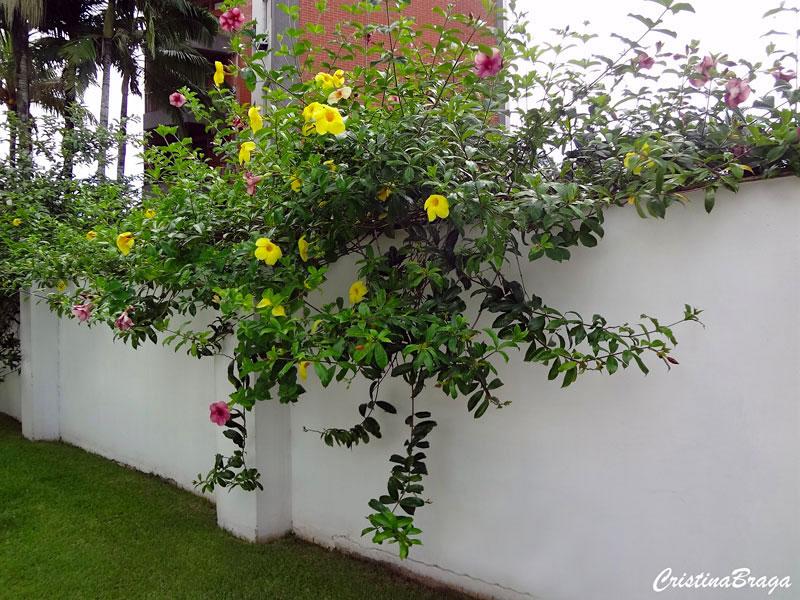 Alamanda roxa - Allamanda blanchetti