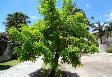 Ipê de Jardim – Tecoma stans
