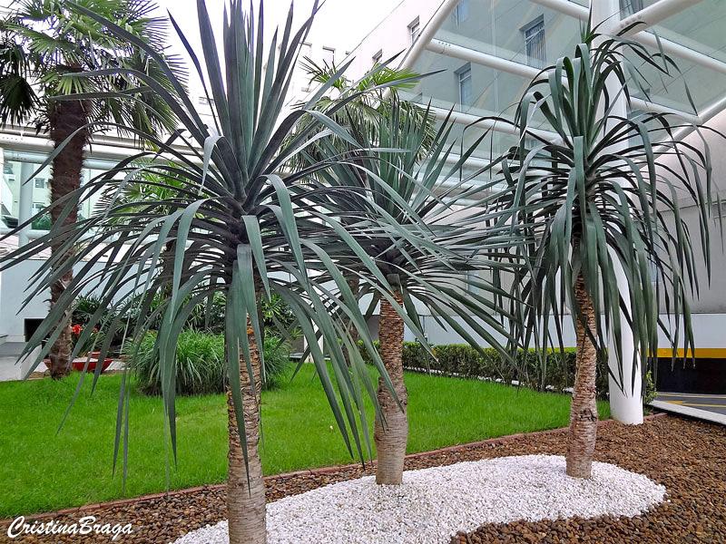Yuca de folha curva yucca gloriosa tristis flores e - Yucca elephantipes cuidados ...