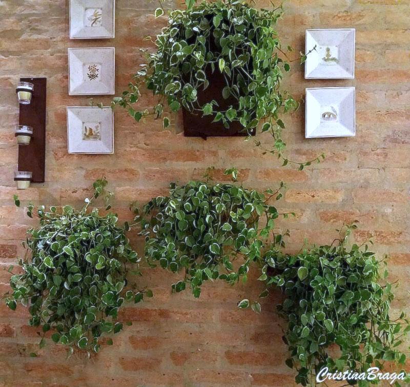 Resultado de imagem para planta peperomia suspensa